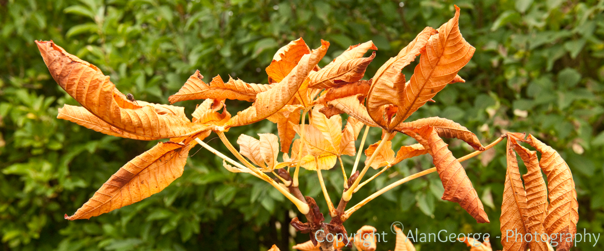 Autumnal Leaves - Horse Chestnut